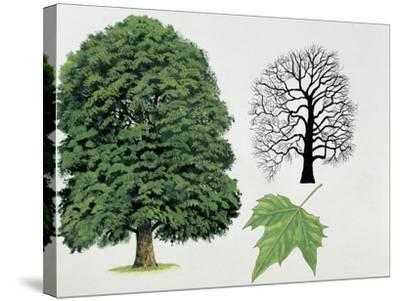 London Plane Trees and its Leaf (Platanus Hispanica)--Stretched Canvas Print