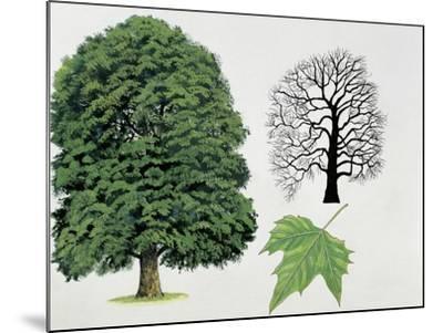 London Plane Trees and its Leaf (Platanus Hispanica)--Mounted Giclee Print