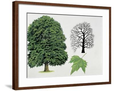 London Plane Trees and its Leaf (Platanus Hispanica)--Framed Giclee Print