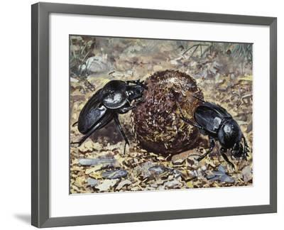 Sacred Beetle (Scarabaeus Sacer), Scarabaeidae--Framed Giclee Print