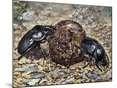 Sacred Beetle (Scarabaeus Sacer), Scarabaeidae--Mounted Giclee Print