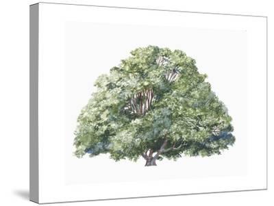Botany, Trees, Nothofagaceae, Silver Beech Nothofagus Menziesii--Stretched Canvas Print