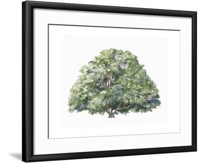 Botany, Trees, Nothofagaceae, Silver Beech Nothofagus Menziesii--Framed Giclee Print