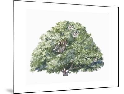 Botany, Trees, Nothofagaceae, Silver Beech Nothofagus Menziesii--Mounted Giclee Print