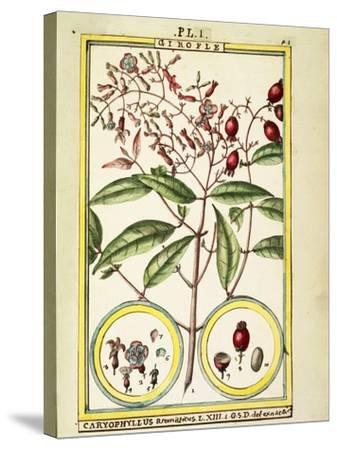 Clove (Caryophyllus Aromaticus), 1789--Stretched Canvas Print