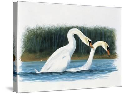 Close-Up of Two Mute Swans Mating--Stretched Canvas Print