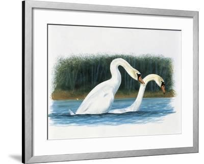 Close-Up of Two Mute Swans Mating--Framed Giclee Print