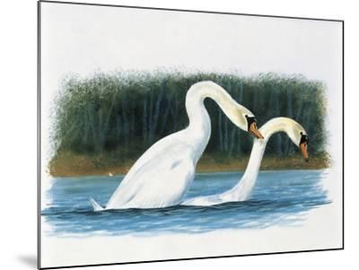 Close-Up of Two Mute Swans Mating--Mounted Giclee Print