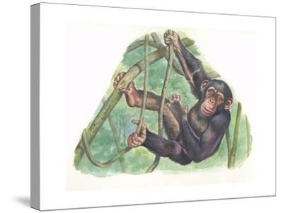 Common Chimpanzee Pan Troglodytes--Stretched Canvas Print