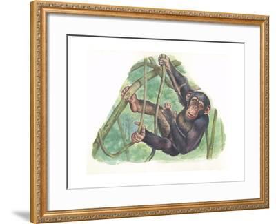 Common Chimpanzee Pan Troglodytes--Framed Giclee Print