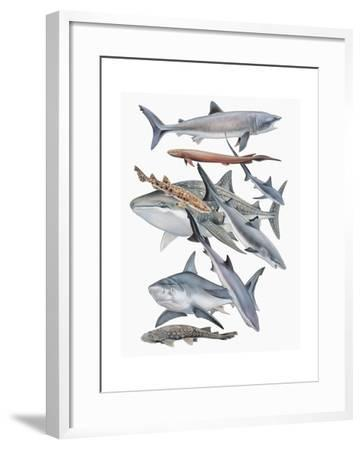 Close-Up of Fish of the Selachii Family--Framed Giclee Print
