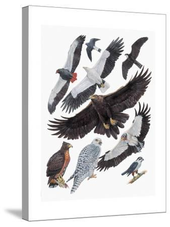 Close-Up of Falcons--Stretched Canvas Print