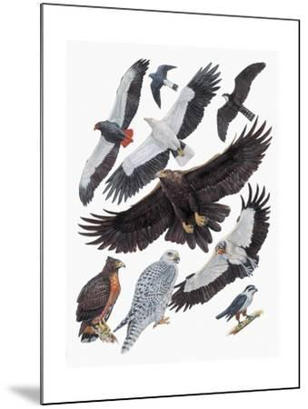 Close-Up of Falcons--Mounted Giclee Print