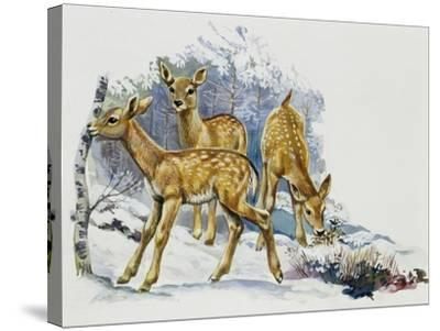 Fallow Deer Fawns (Dama Dama), Cervidae--Stretched Canvas Print
