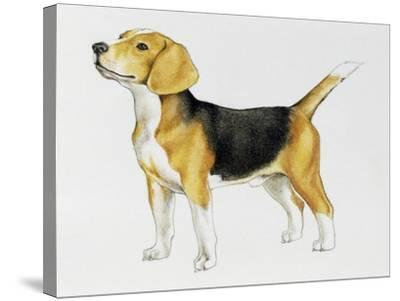 Beagle (Canis Lupus), Canidae, Drawing--Stretched Canvas Print