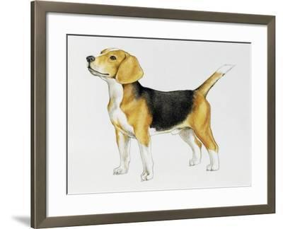 Beagle (Canis Lupus), Canidae, Drawing--Framed Giclee Print