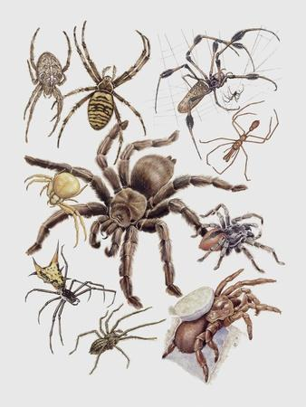 Close-Up of a Group of Argiope Spiders--Framed Giclee Print