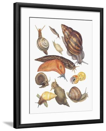 Close-Up of a Group of Gastropoda Molluscs--Framed Giclee Print