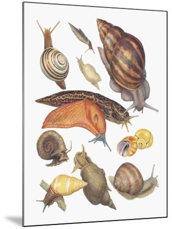 Close-Up of a Group of Gastropoda Molluscs--Mounted Giclee Print