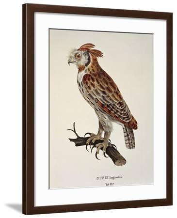 Owl Strix Longirostris,--Framed Giclee Print
