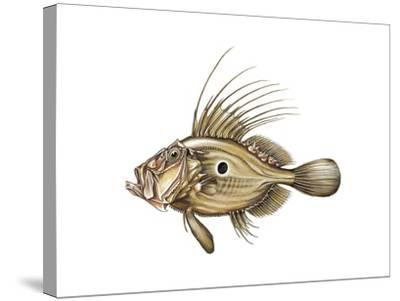 John Dory or St Pierre (Zeus Faber)--Stretched Canvas Print