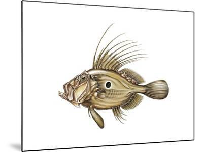 John Dory or St Pierre (Zeus Faber)--Mounted Giclee Print