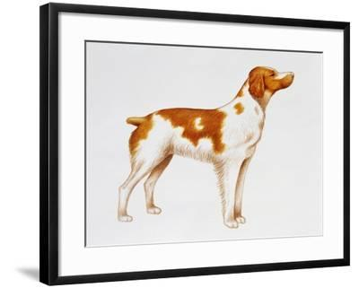 Brittany (Canis Lupus), Canidae, Drawing--Framed Giclee Print