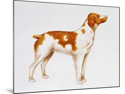 Brittany (Canis Lupus), Canidae, Drawing--Mounted Giclee Print
