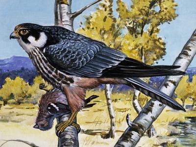 Hobby (Falco Subbuteo), Falconidae--Framed Giclee Print