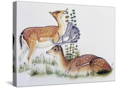 Pair of Fallow Deers (Dama Dama), Cervidae--Stretched Canvas Print
