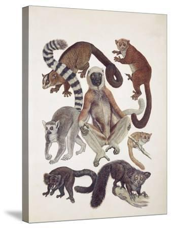 Close-Up of a Group of Lemuridae Mammals--Stretched Canvas Print