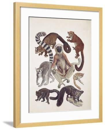 Close-Up of a Group of Lemuridae Mammals--Framed Giclee Print