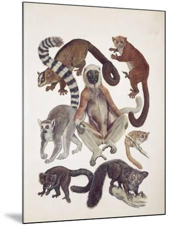 Close-Up of a Group of Lemuridae Mammals--Mounted Giclee Print