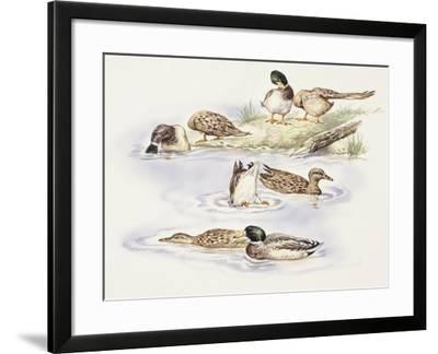 Zoology: Birds, Ducks Swimming--Framed Giclee Print
