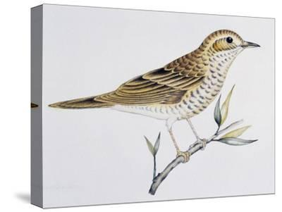 Scaly Thrush (Zoothera Dauma), Turdidae--Stretched Canvas Print