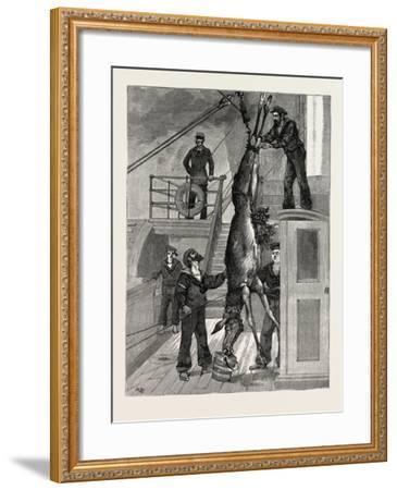 Weighing the Prince's Elk on Board the Osborne, Sweden--Framed Giclee Print