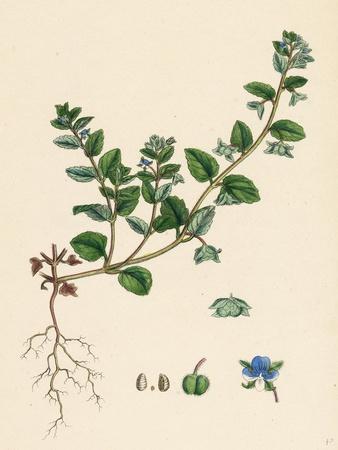 Veronica Agrestis Green Procumbent Speedwell--Framed Giclee Print
