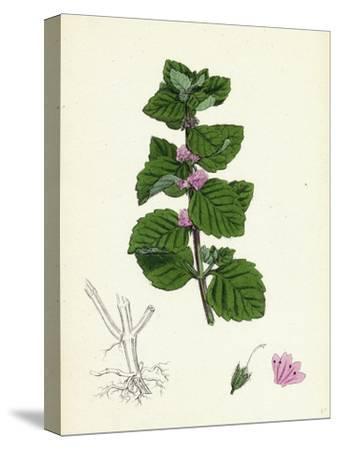 Mentha Arvensis Var. Agrestis Corn Mint Var. Y--Stretched Canvas Print