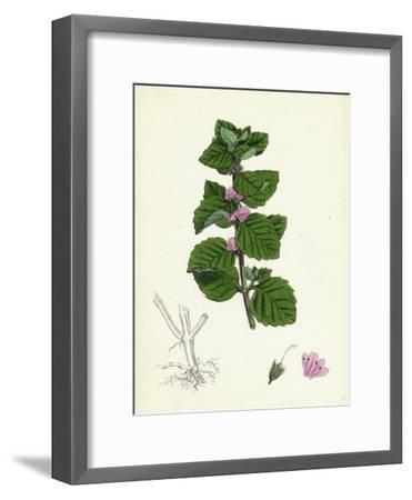 Mentha Arvensis Var. Agrestis Corn Mint Var. Y--Framed Giclee Print