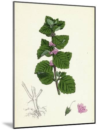 Mentha Arvensis Var. Agrestis Corn Mint Var. Y--Mounted Giclee Print