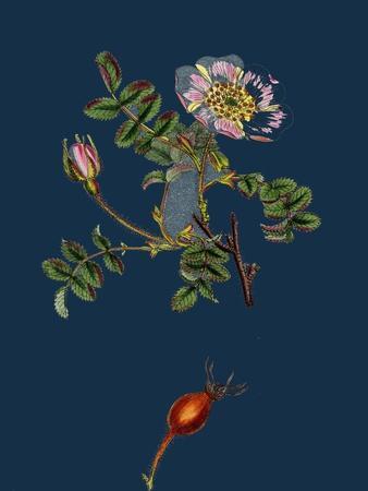 Alchemilla Arvensis; Parsley-Piert--Framed Giclee Print