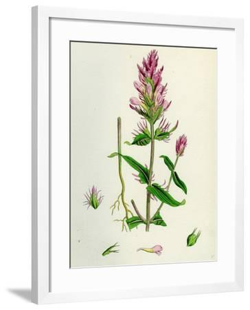 Melampyrum Arvense Field Cow-Wheat--Framed Giclee Print