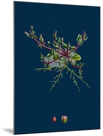 Mulgedium Alpinum; Blue Sow-Thistle--Mounted Giclee Print