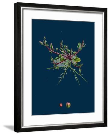 Mulgedium Alpinum; Blue Sow-Thistle--Framed Giclee Print