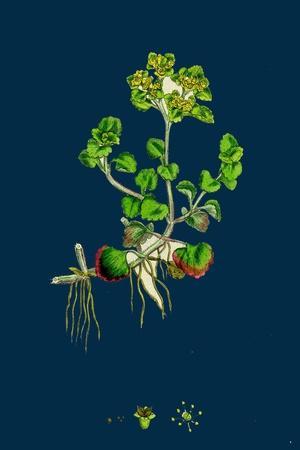 Sedum Fabaria; Narrow-Leaved Orpine--Stretched Canvas Print