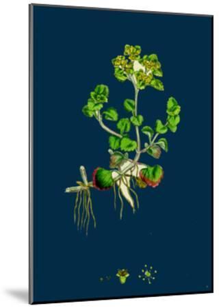 Sedum Fabaria; Narrow-Leaved Orpine--Mounted Giclee Print