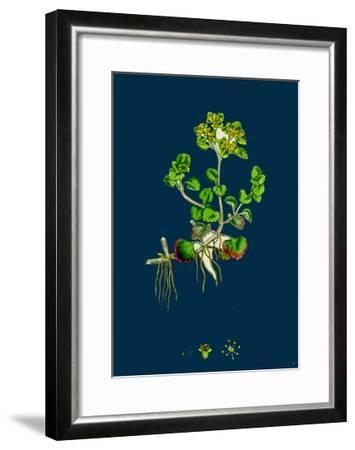 Sedum Fabaria; Narrow-Leaved Orpine--Framed Giclee Print