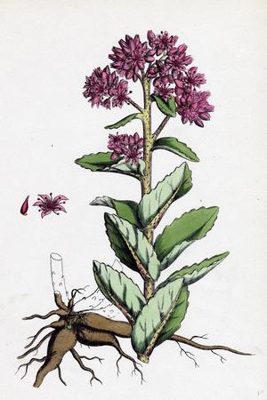 Sedum Purpurascens Broad-Leaved Orpine--Stretched Canvas Print