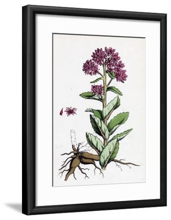 Sedum Purpurascens Broad-Leaved Orpine--Framed Giclee Print