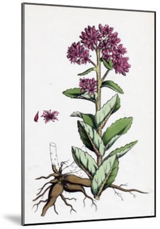 Sedum Purpurascens Broad-Leaved Orpine--Mounted Giclee Print